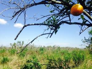 Image Credit: From-WGCU News State Struggles To Eradicate Abandoned, Diseased Orange Groves
