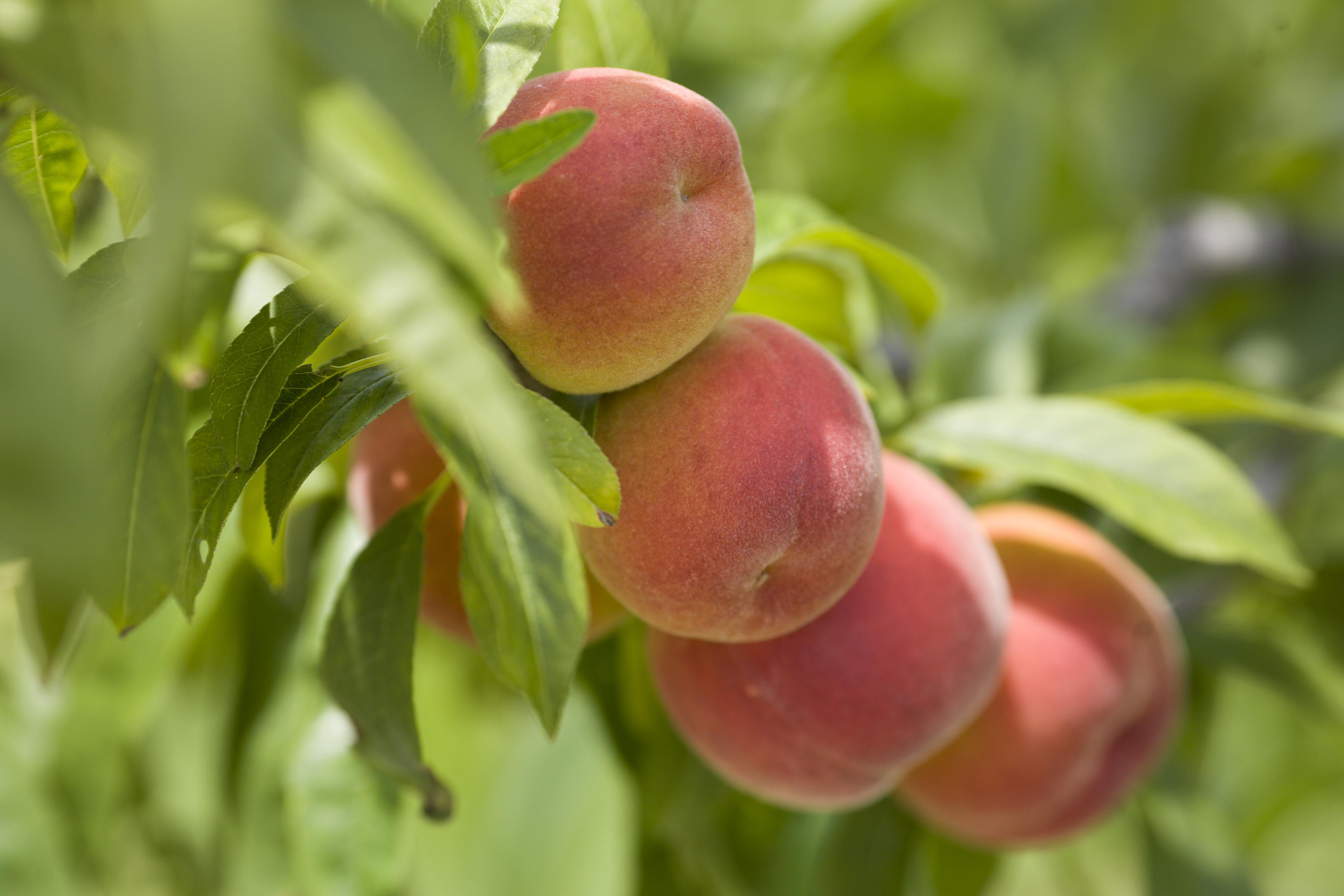 Florida peaches shine thanks to usda grant vsc news for The peach tree