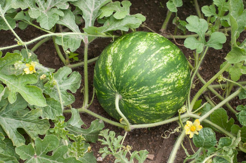 The 2019 Georgia Watermelon Season Starts Vsc News