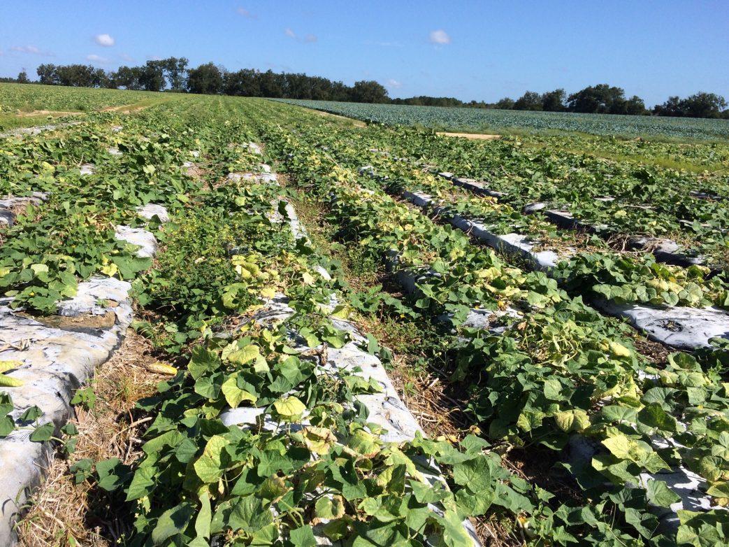 symptoms show in infested cucumber field
