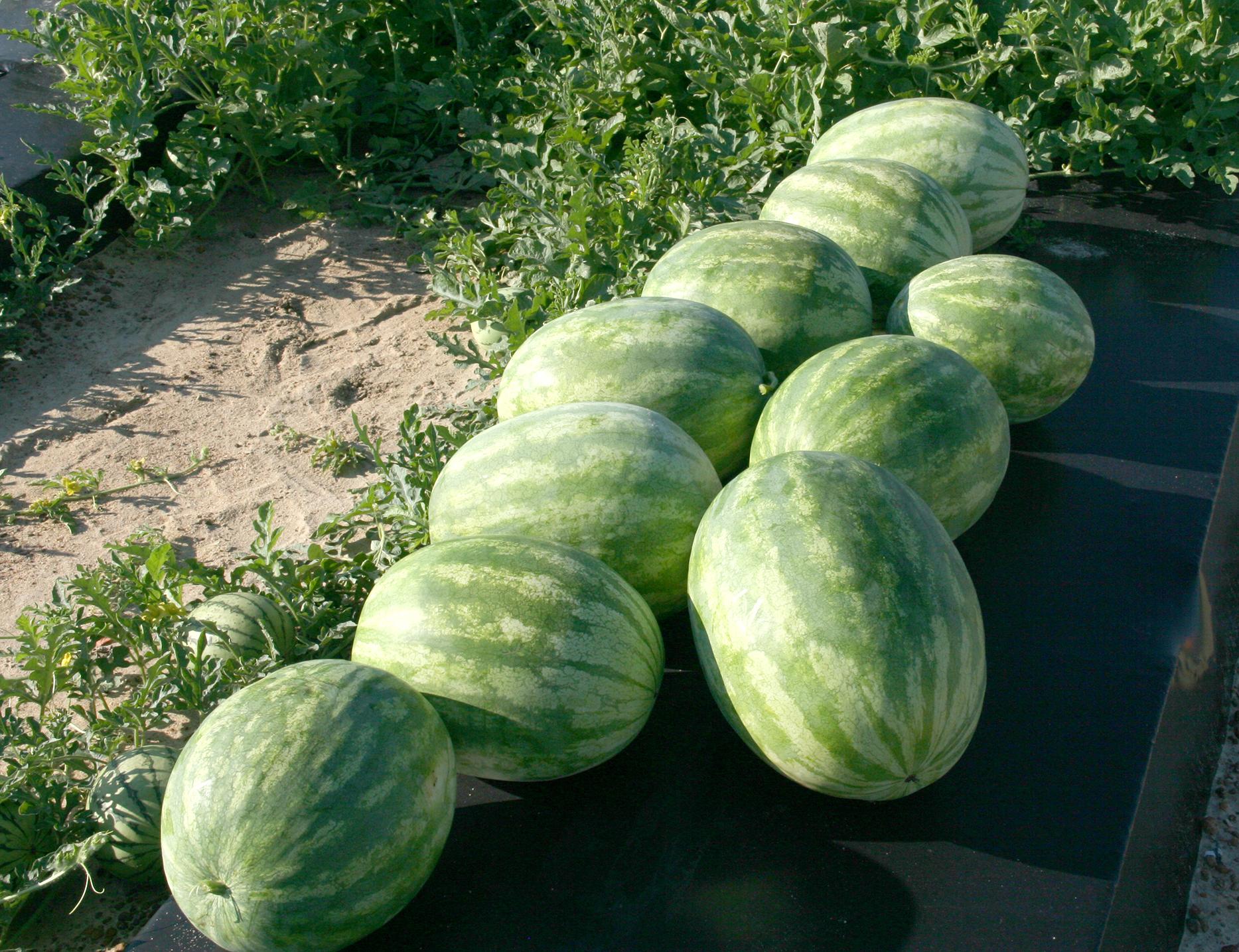 Georgia Watermelon Season Ramps Up Next Week Vsc News